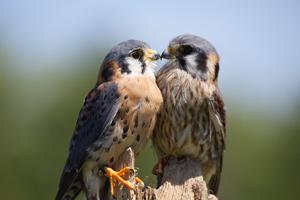 Kissing Kestrals