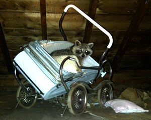 Raccoon in pram
