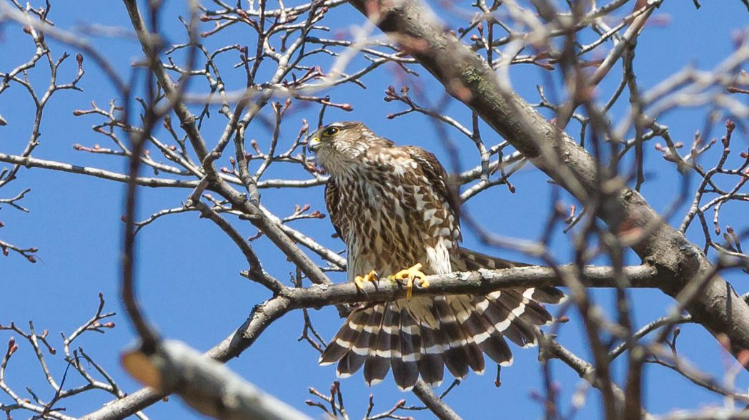 Peregrine Falcon Perched in Leaside
