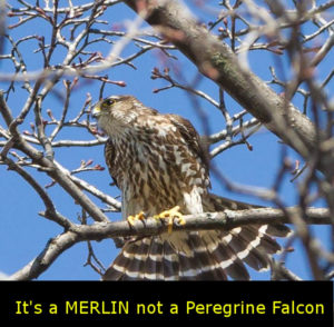 Merlin perched in Leaside