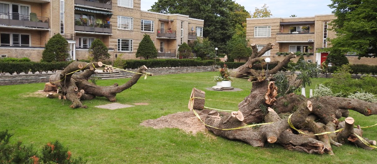 Ash tree removals in process at Garden Court apartments on September 9, 2016.
