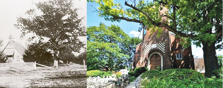 St. Cuthberts' great oak - then and now. Courtesy of St. Cuthbert's Church.