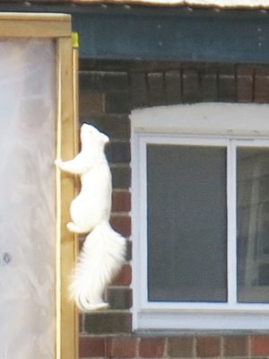 White squirrel. Photo by Zach Henley.