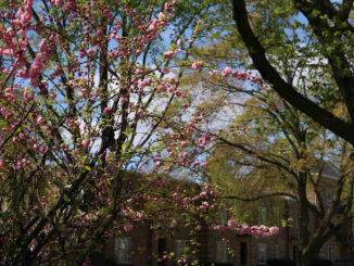 Spring blossoms in Leaside. Staff photo.
