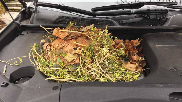 Squirrel nest in hood of car. Image: Elaine Snider.