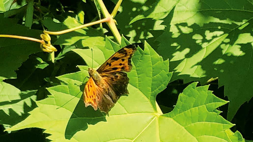 Butterfly in Crothers Woods.
