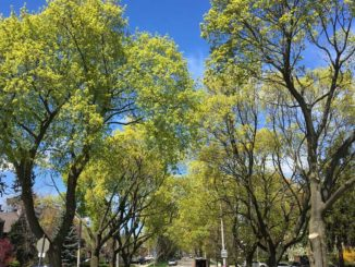 The urban tree canopy in Leaside. Staff photo.