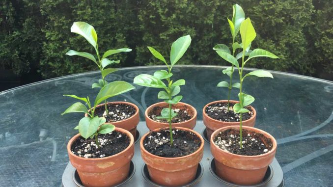 Organic lemon tree seedlings that I started from seed and shared with my friends. Photo Debora Kuchme.