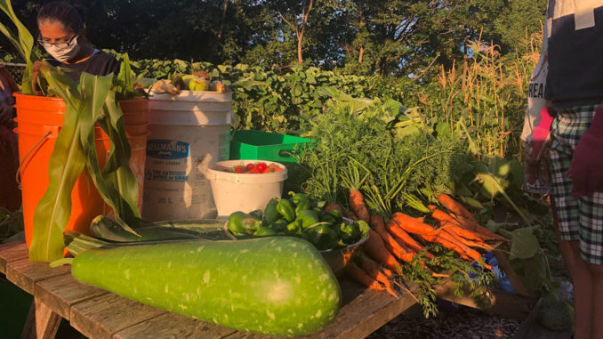 Harvest at the Greenwin Community Garden.