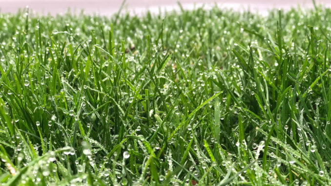 An image of grass covered in dew. Staff photo.