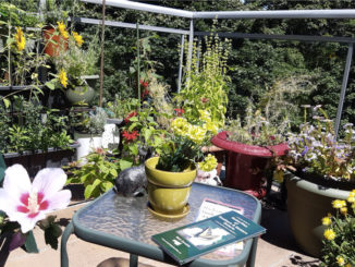 Jean Sugarbroad-Keele is a passionate and dedicated balcony gardener whose Leaside condo terrace is a true pollinator paradise. Photo Jean Sugarbroad-Keele.